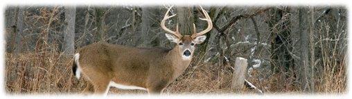 Legacy Image Whitetail Buck